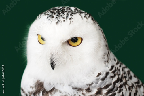 Poster Uil snow owl