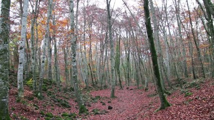 Beech Forest with Falling Leaves in Autumn
