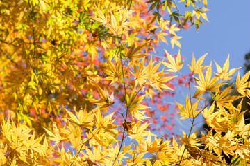 イロハカエデの黄葉