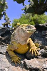 Galapagos land iguana リクイグアナ
