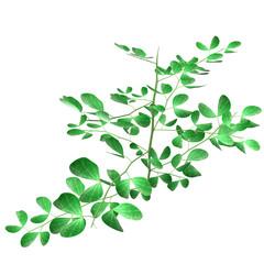 Bifoliate