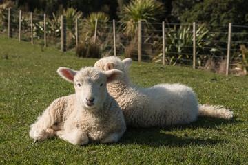 little lambs resting on grass