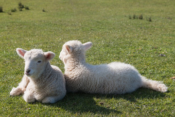 two newborn lambs resting on grass