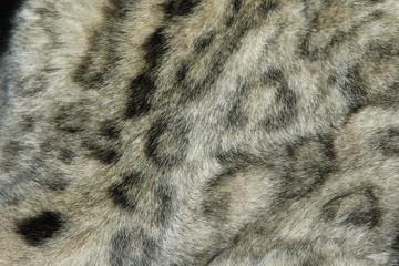 Snow leopard fur texture (Panthera uncial). .