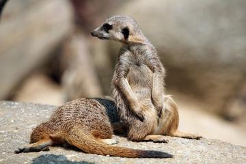 Meerkats (Suricata suricatta).