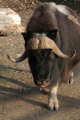 Musk ox (Ovibos moschatus). .