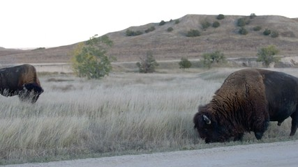 Wild Buffalo roaming near the campground in the Badlands Nationa