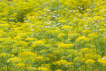 A field of bright yellow and white flowers