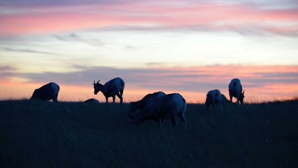 Bighorn Sheep against Sunset Sky Badlands National Park South Da