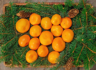 Tangerines on spruce branch