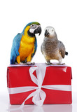 Papageien auf rotem Geschenk