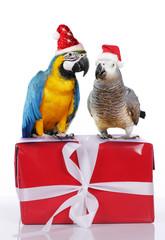 Papageien auf rotem Geschenk mit Weihnachtsmütze