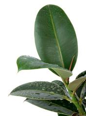 Ficus Leaves