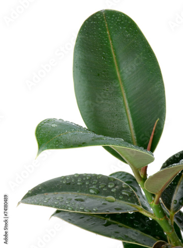 Ficus Leaves - 74180489