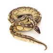 yellow Python regius - 74184266