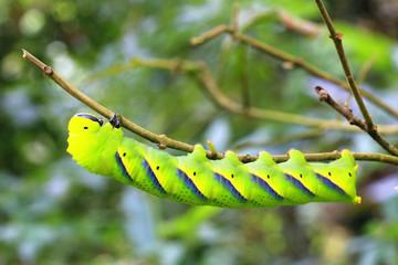 Larva of sphingidae