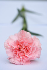 Mooie zalmroze Anjer roos op witte achtergrond