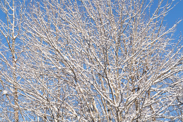 A snow covered tree with blue sky in the background