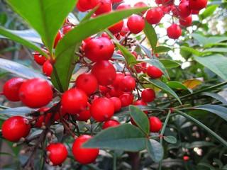 奈良・真っ赤に色付いた南天の実