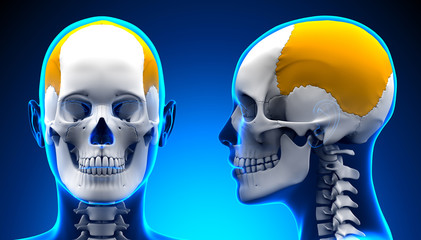 Female Parietal Bone Skull Anatomy - blue concept