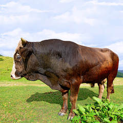 Bull on a summer pasture