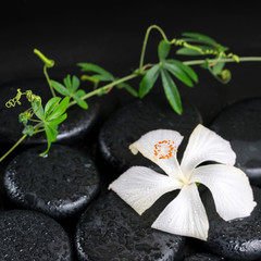 beautiful spa concept of blooming delicate white hibiscus, green