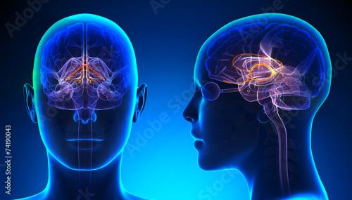 Leinwandbild Motiv Female Limbic System Brain Anatomy - blue concept