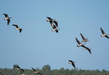 Bean gooses in flight