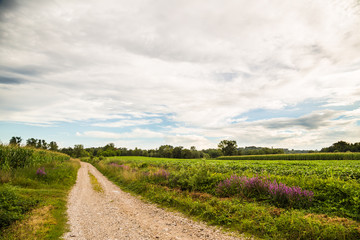 lavander on a country road in the fields of italy