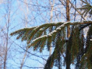 Fir Tree Branch Under Snow