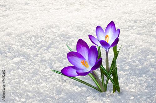 Zdjęcia na płótnie, fototapety na wymiar, obrazy na ścianę : first crocus flowers
