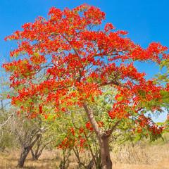 arbre flamboyant