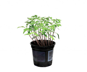Young tomato sprouts isolated