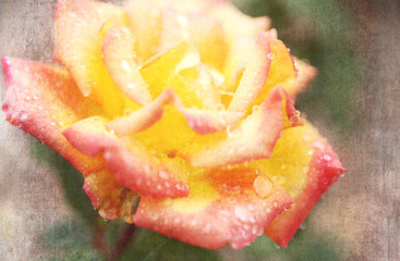 Pink and Yellow Rose Flower with Rain Water Drop