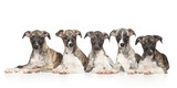 Whippet puppies on white background - 74195678