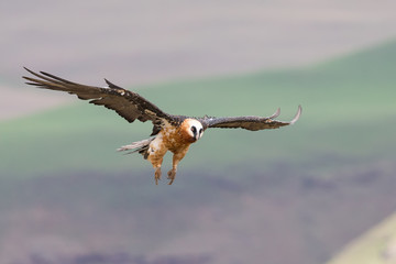 Adult bearded vulture landing on rock ledge where bones are avai