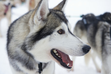 Sledge dog eager to run, Kakslauttanen, Lapland, Finland.