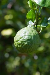 Bergamot or Kaffir Lime fruit