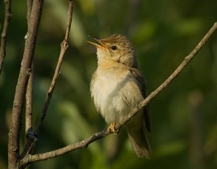 Marsh Warbler on branch