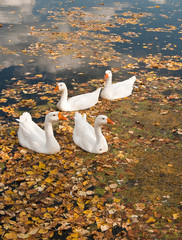 Geese on a rural pond covered with the fallen down leaves