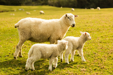 little lambs with the mother in the grass