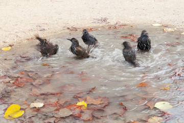 Washing in puddle.