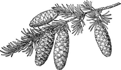 Vintage image pine cone