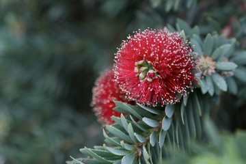 Abstract Focus on Red Dwarf Bottle Brush Flower