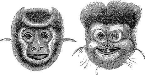 Vintage Illustration monkey marmoset