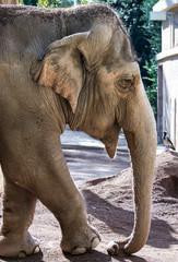 Femmina di elefante indiano
