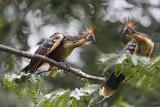 Hoatzin birds in the amazon ecosystem poster