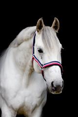 Pferd im Studio - Portrait