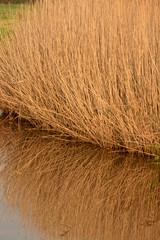 canneto d'inverno riflesso nell'acqua