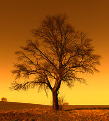 Single big tree in meadow at sunset